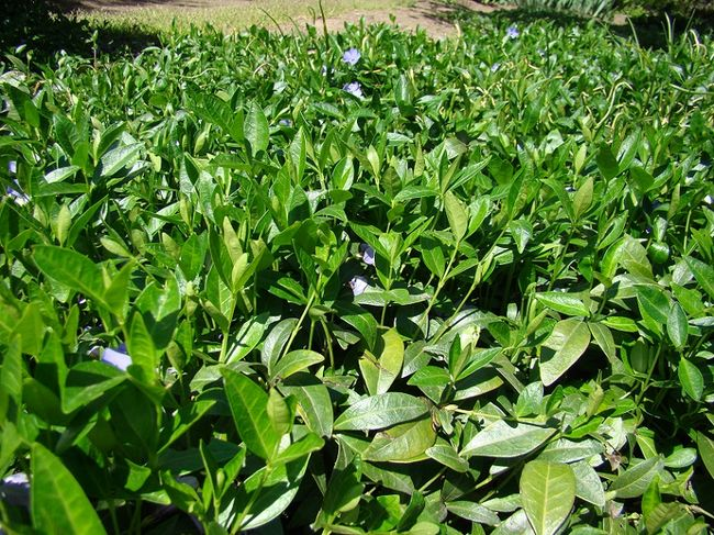 Barwinek - roślina okrywowa