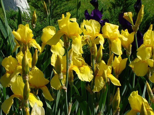 Kosaćce żółte