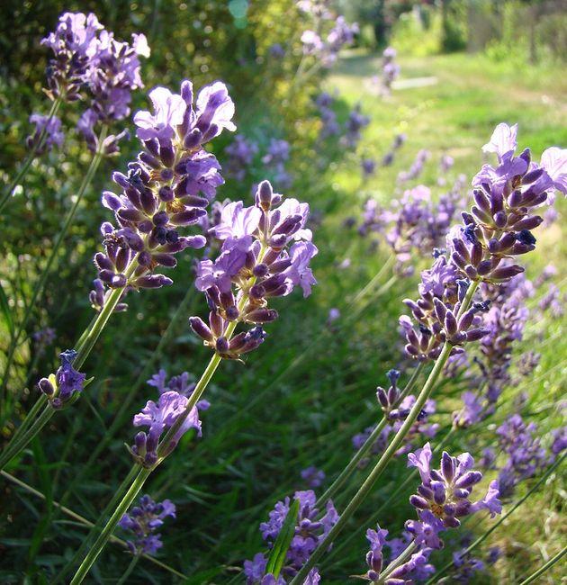 Lawenda - kwiaty