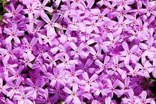Floks szydlasty - różowy
