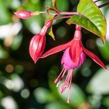 Fuksja - kwiat