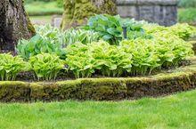 Funkie ogrodowe - różne odmiany