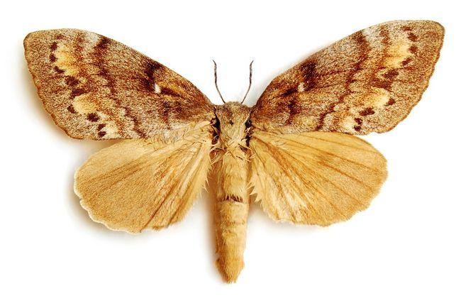 Barczatka sosnówka w formie motyla