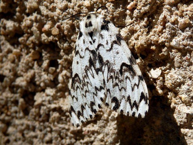 Brudnica mniszka - motyl
