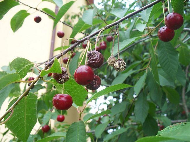 Brunatna zgnilizna drzew pestkowych na wiśni