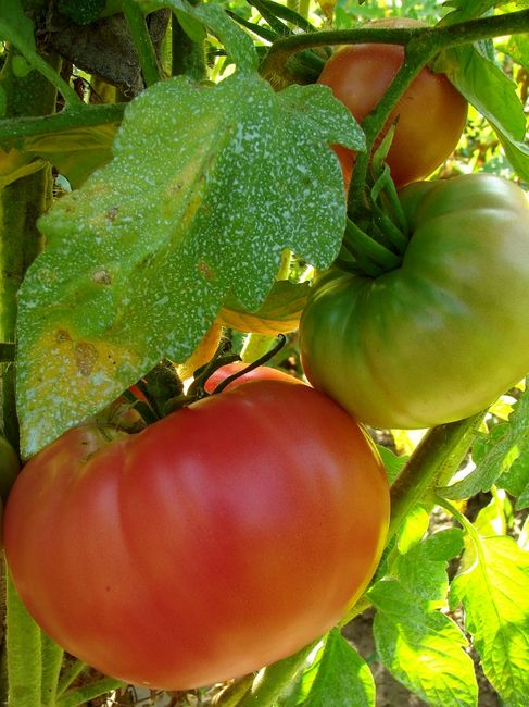 Choroba pomidora