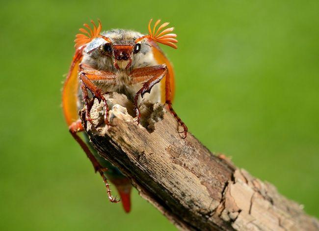 Chrabąszcz majowy