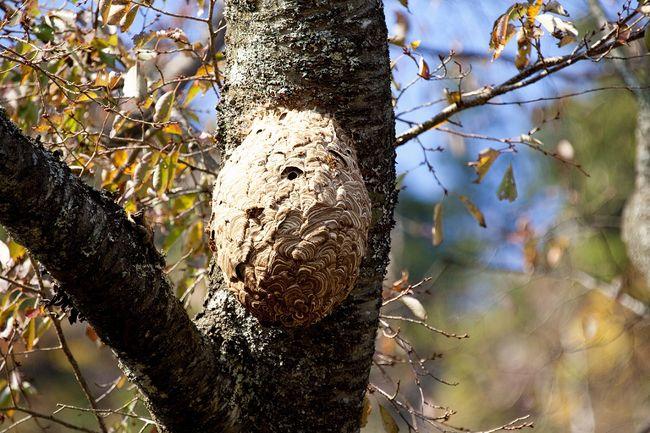 Gniazdo szerszeni