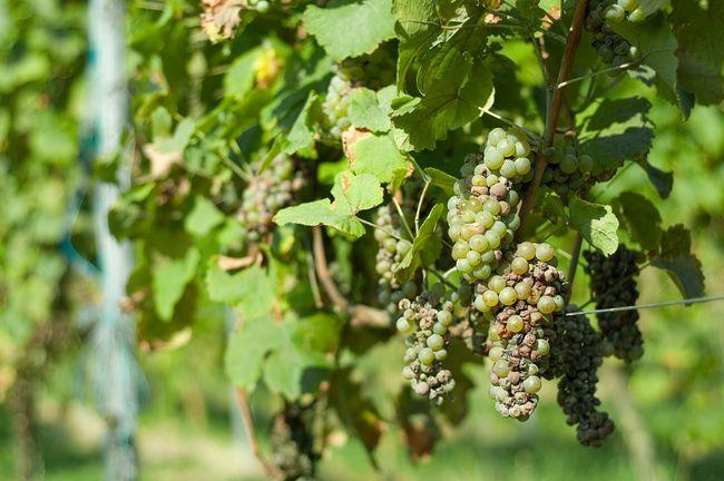 Gnijące winogrona