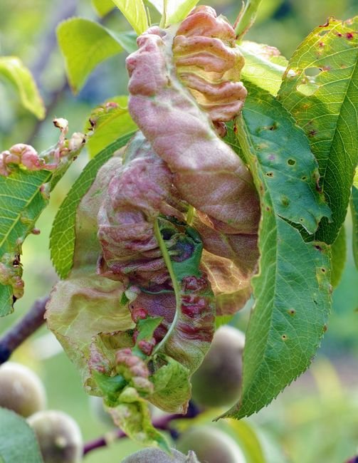 Kędzierzawość liści brzoskwini - objawy
