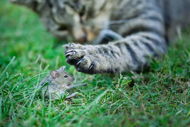Koty skutecznie pomagają w zwalczaniu gryzoni