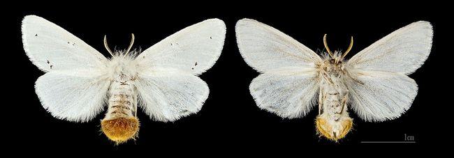 Kuprówka rudnica w formie motyla