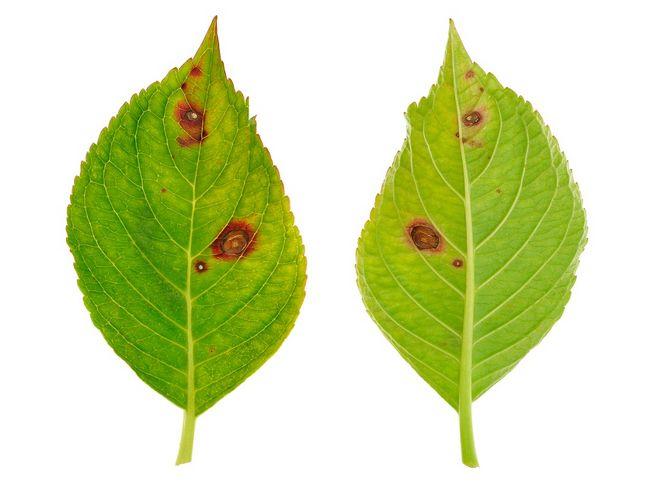 Liść z objawami grzyba Cercospora