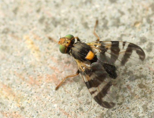 Nasionnica trześniówka - forma dorosła