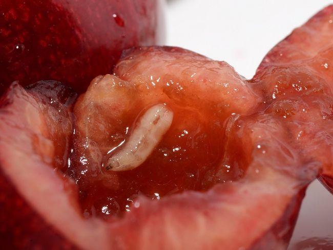 Nasionnica trześniówka - larwa w owocach