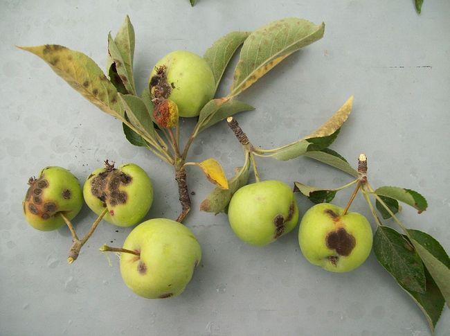 Objawy parcha jabłoni