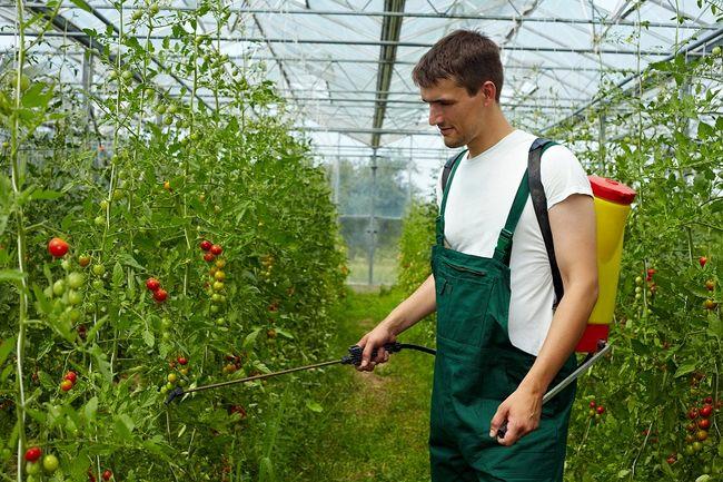 Oprysk pomidorów