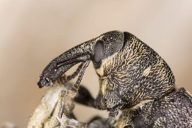 Szeliniak sosnowiec (Hylobius abietis)