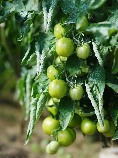 Zwinięte liście pomidora