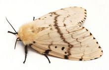 Brudnica nieparka w formie motyla