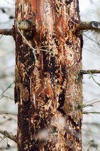 Drzewo zaatakowane przez korniki