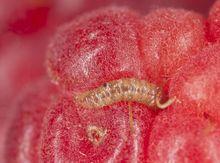 Larwa w owocu maliny