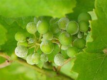 Mączniak prawdziwy na winorośli