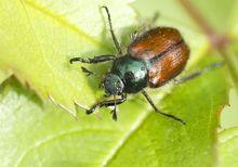 Ogrodnica niszczylistka - szkodnik z rodziny żukowatych