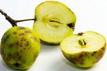 Parch jabłoni na owocach
