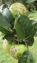 Parch jabłoni