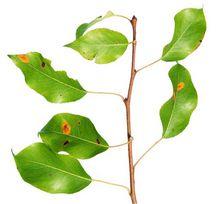 Rdza gruszy na liściach