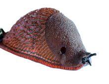 Ślinik luzytański - szkodliwy ślimak