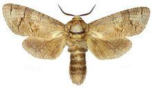 Trociniarka czerwica - motyl