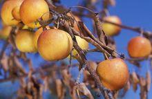 Zaraza ogniowa na jabłoni