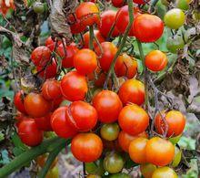 Zaraza ziemniaczana na pomidorach