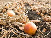 Zbiór cebuli