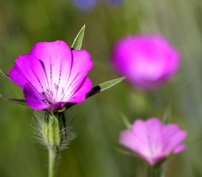 Kwitnący kąkol polny