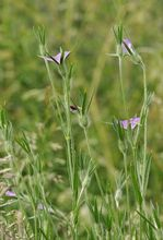 Kąkol polny (Agrostemma githago)