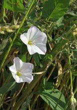Powój polny w roślinach uprawnych