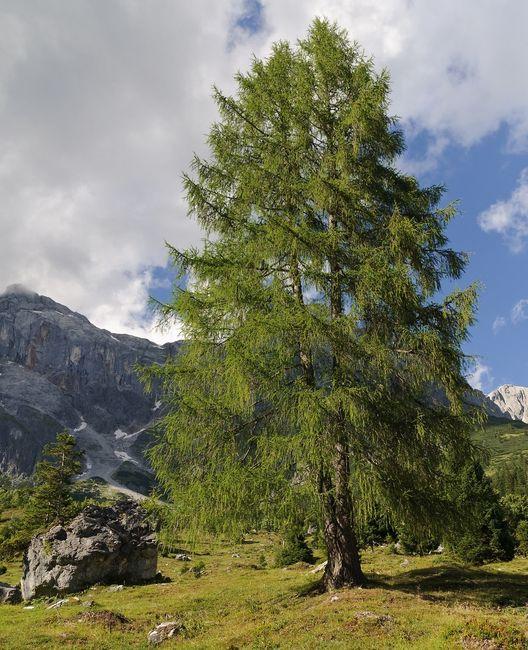 Modrzew - duże drzewo