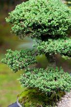 Jałowiec chiński - bonsai