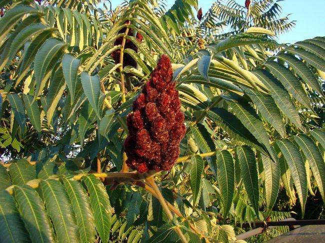 Drzewo - Sumak