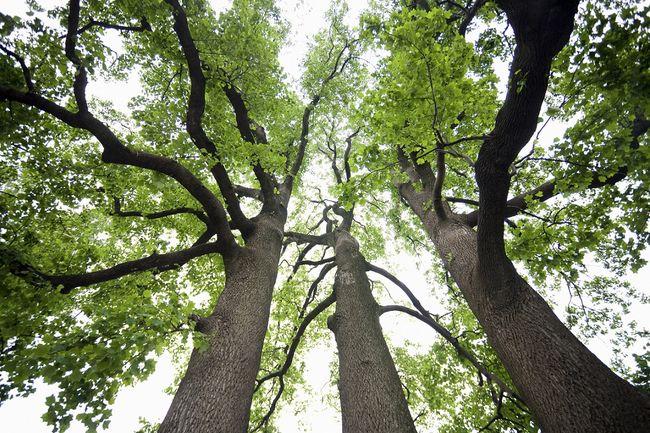 Tulipanowiec amerykański - duże drzewa