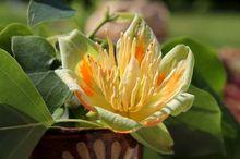 Kwiat tulipanowca amerykańskiego