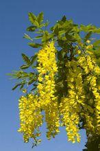 Kwiatostan złotokapu