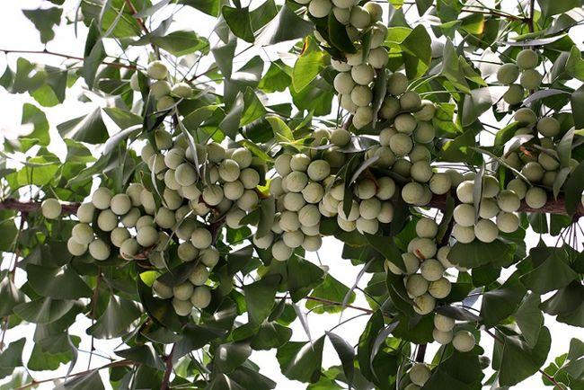 Miłorząb japoński z owocami