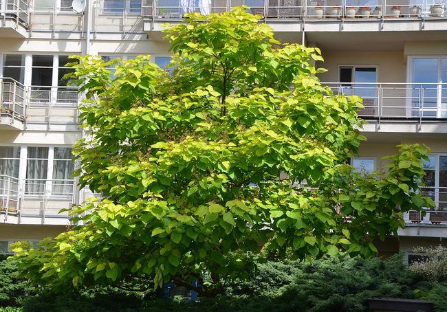 Surmia - drzewo