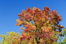 Ambrowiec balsamiczny, amerykański - duże drzewo