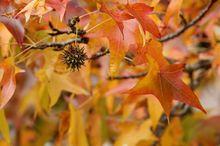 Ambrowiec - owoc i liście