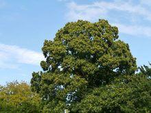 Kasztan jadalny - duże drzewo